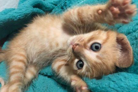 Felv a leucemia felina